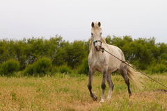 Old White Horse Stock Image