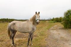 Old White Horse Stock Photo