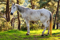 Old white horse Stock Photos