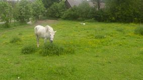 Old white horse grazing on a grassy meadow stock video footage