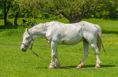 Old white horse Royalty Free Stock Images