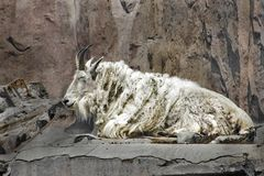 Old white mountain goat Royalty Free Stock Photo
