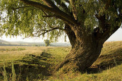 Old white willow Royalty Free Stock Image