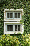 Old white window with green ivy climbing fig Royalty Free Stock Image
