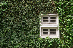 Old white window with green ivy climbing fig Stock Photography