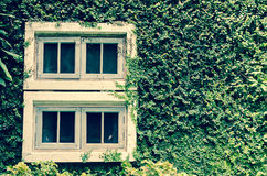 Old white window with green ivy climbing fig Stock Photo