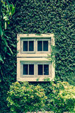 Old white window with green ivy climbing fig Stock Images