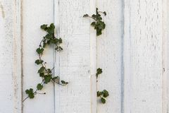 Old white wood planks on an old house wall, some green ivy plants growing through the wall. Horizontal image Royalty Free Stock Image