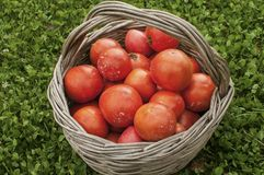 Old wicker basket with fresh red tomatoes royalty free stock photos
