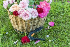 Rose gardening concept. Old wicker basket with multicolored roses and pruners shears on grass Royalty Free Stock Photos