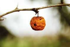 Old wild apple Stock Photography