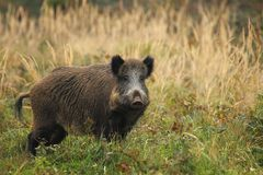 Old wild boar royalty free stock image