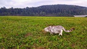 Wild Cat on Water Dam Stock Photo