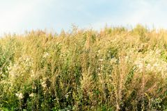 Free Old Wild Flower Hay Meadow In Summer. Herbs, Meadow With Dried Grass,  Autumn Nature Backgrounds Royalty Free Stock Photos - 148651268