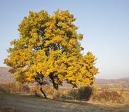Old wild pear tree in autumn Stock Photo