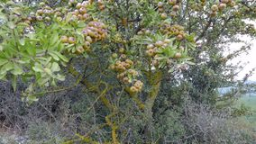 Old wild pear tree full of ripe fruits. 4k stock video footage