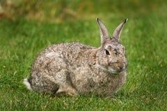 Old wild Rabbit. Old wild Rabbit on grass Royalty Free Stock Photo