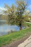 The old willow on the shore of the pond to Abrau-Durso Stock Photo