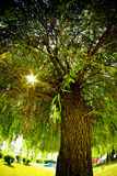 Old willow tree. With sun rays through the branches royalty free stock photography