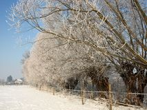 Old willow tree in the alley near the snowy pastures. royalty free stock photos