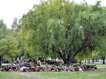 Old willow tree on the background of the cut logs prepared for t Stock Photo