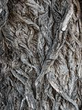 Old willow tree bark. Closeup of old willow tree bark Royalty Free Stock Photo