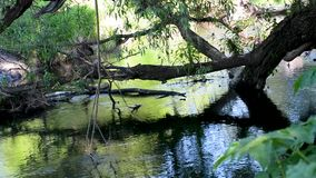 Willow fell into the river from shore to shore. The old Willow tree fell into the river, with dry and green branches from shore to shore stock footage