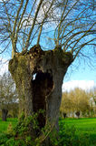 Old willow tree Royalty Free Stock Photo