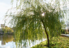 Old willow tree by the lake near the Novodevichy Convent Royalty Free Stock Photos