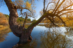Old willow tree in lake at sunset Stock Images