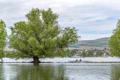 Old willow tree in the middle of the Rhine river in front of Oestrich-Winkel town. Old willow tree in the middle of the Rhine river royalty free stock photography