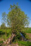 Old willow tree Royalty Free Stock Photos