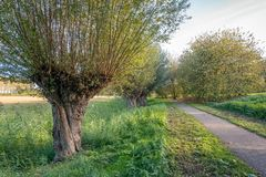 Old willow tree next to a path in a Dutch park. Very old willow tree next to a path in an atmospheric Dutch park in the Oranjepolder in Oosterhout, North Brabant royalty free stock photo