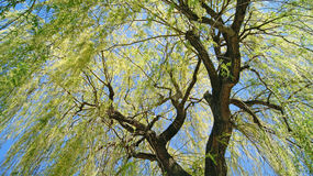 Old willow tree. With sun rays through the branches Royalty Free Stock Photo