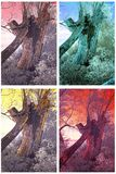Old willow-tree Stock Images