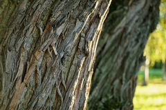 Old willow tree trunk close up Stock Photo