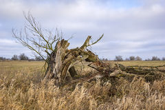 Old willow tree in winter. Stock Photography