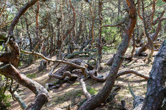 Old wind blown pine trees Stock Photo
