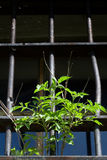 Old window. With a steel lattice and plant Stock Image