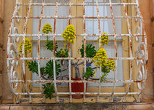 Old window and barred plant. Window and plant detail on Maltese building Royalty Free Stock Photography