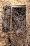 Old window with creepers Stock Image