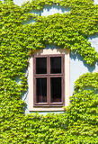 Old window framed by the vine, Bamberg Royalty Free Stock Photo