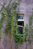 The old window on a gray wall overgrown with plants Royalty Free Stock Photos