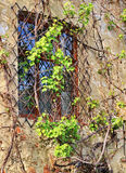 Old window with ivy Royalty Free Stock Image