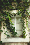 Old window overgrown with green ivy Royalty Free Stock Images