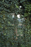 Old window. Overgrown by ivy royalty free stock photography