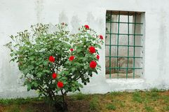 Old window and red rose bush, Bakhchisaray Royalty Free Stock Photography