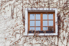 Old window surrounded by creeping ivy plants Royalty Free Stock Image