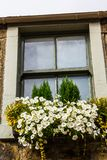 Old window with white surfinia blossom. Old window with white peonies blossom close up royalty free stock photography