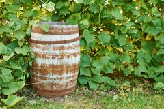 Old wine barrel in the. Vine stock images